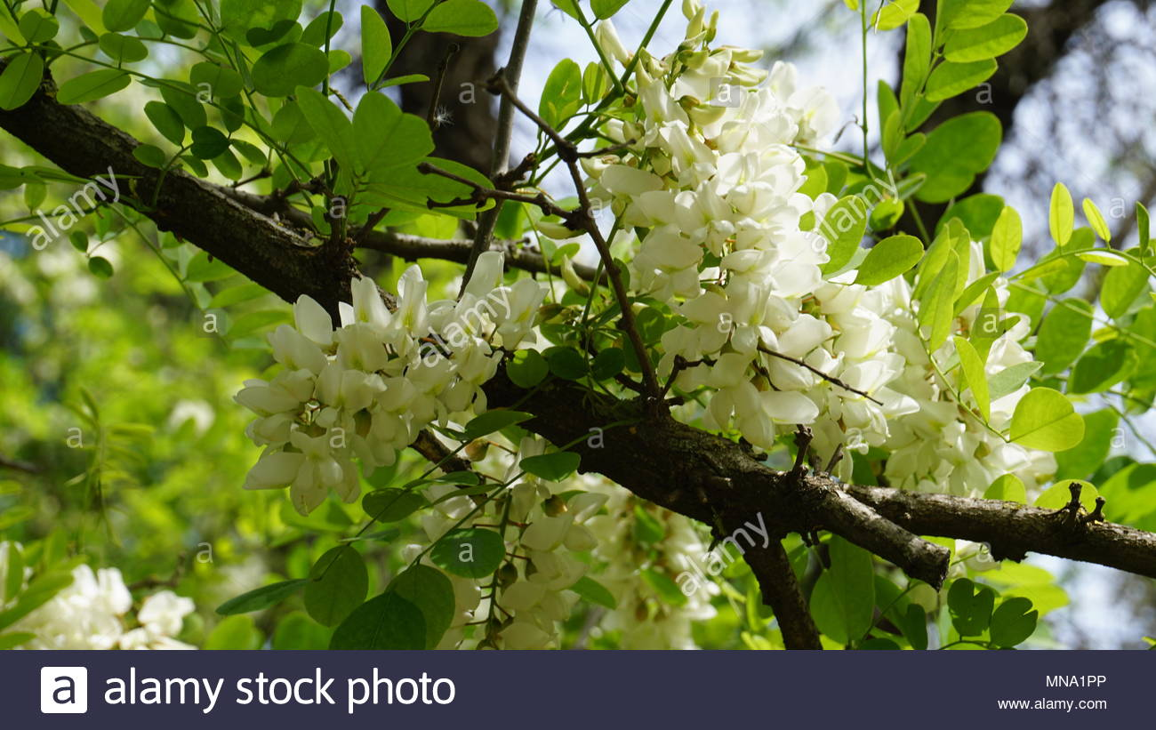 white flowers seen in detail with blurred background in a sunny day - Stock Image