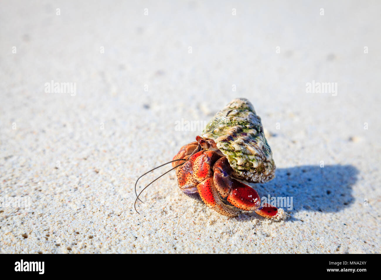 Hermit crab crawling on a beach in British Virgin Islands - Stock Image