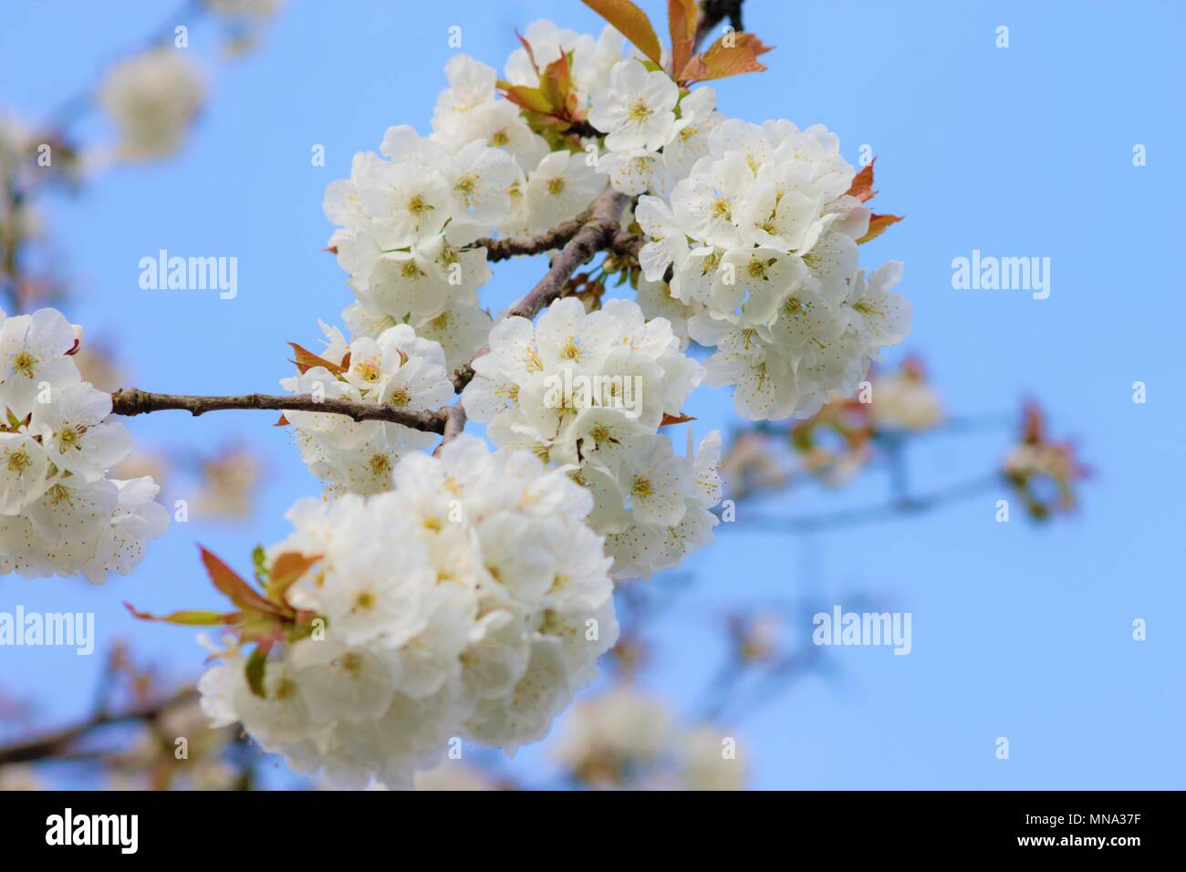 White blossom of the cherry tree in the spring sunshine. - Stock Image