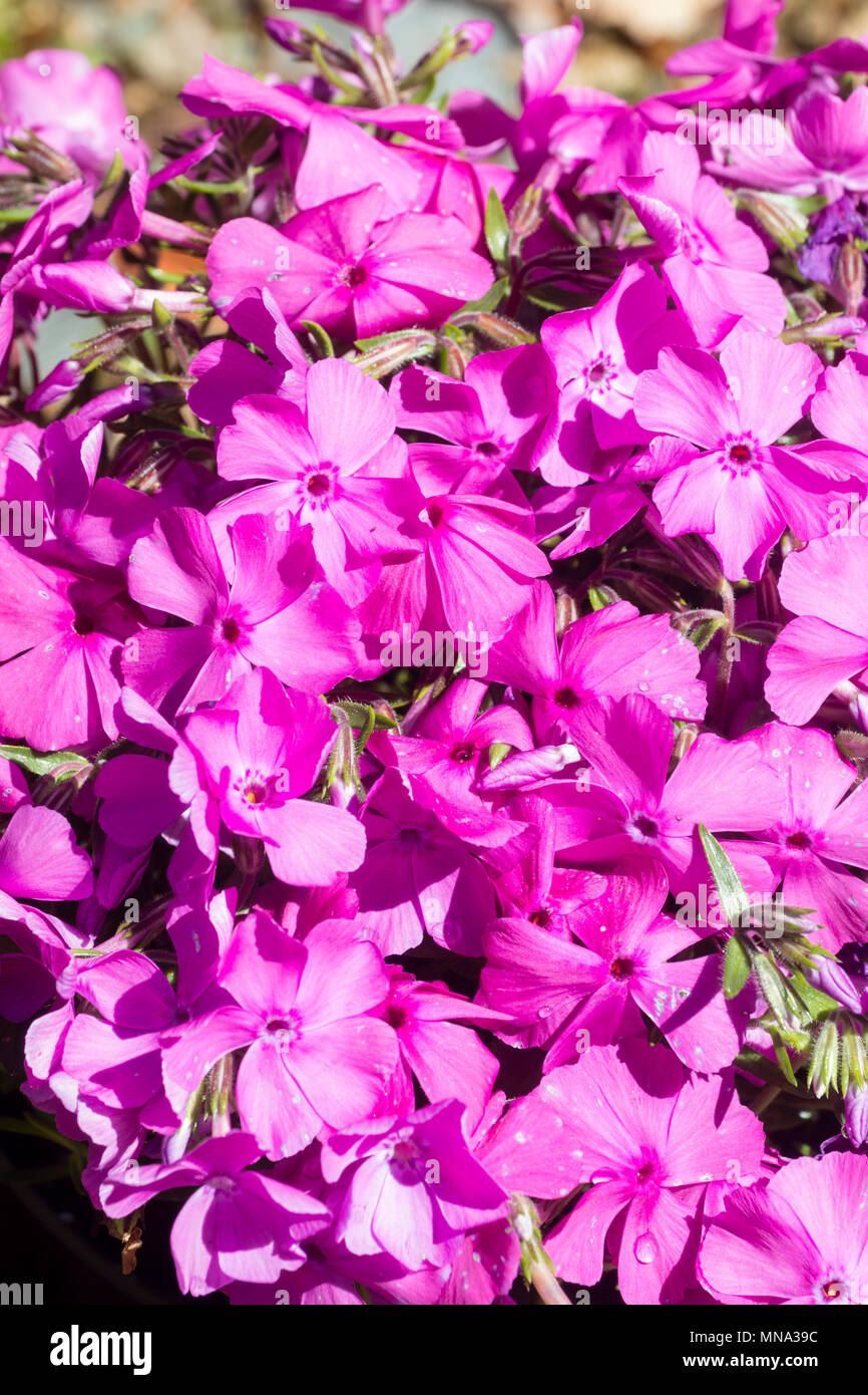 Pink flowers of the creeping moss phlox, Phlox subulata 'McDaniel's Cushion', in late Spring - Stock Image