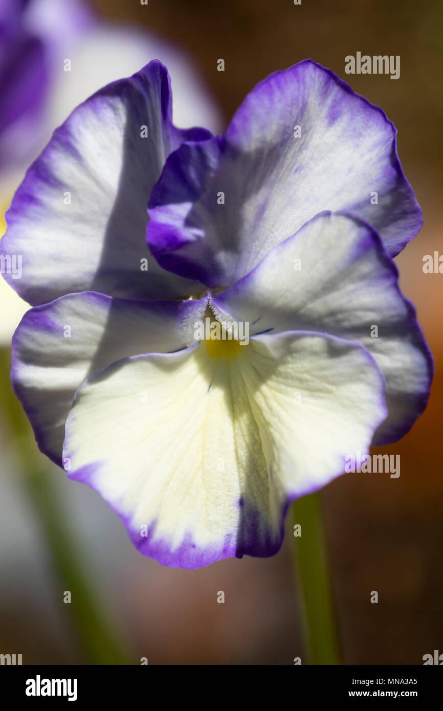 Purple splashed cream flower of the compact perennial Violetta, Viola 'Rebecca' - Stock Image