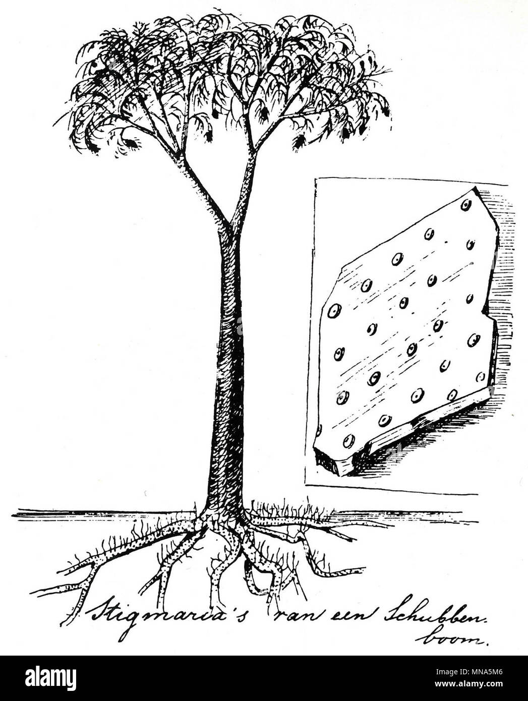 Reconstruction of Lepidodendron by Dutch conservationist Eli Heimans (1911). Stock Photo