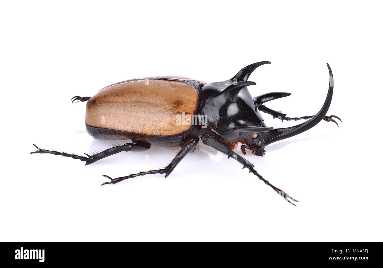 Rhinoceros beetle, Rhino beetle, Hercules beetle, Unicorn beetle - Stock Image