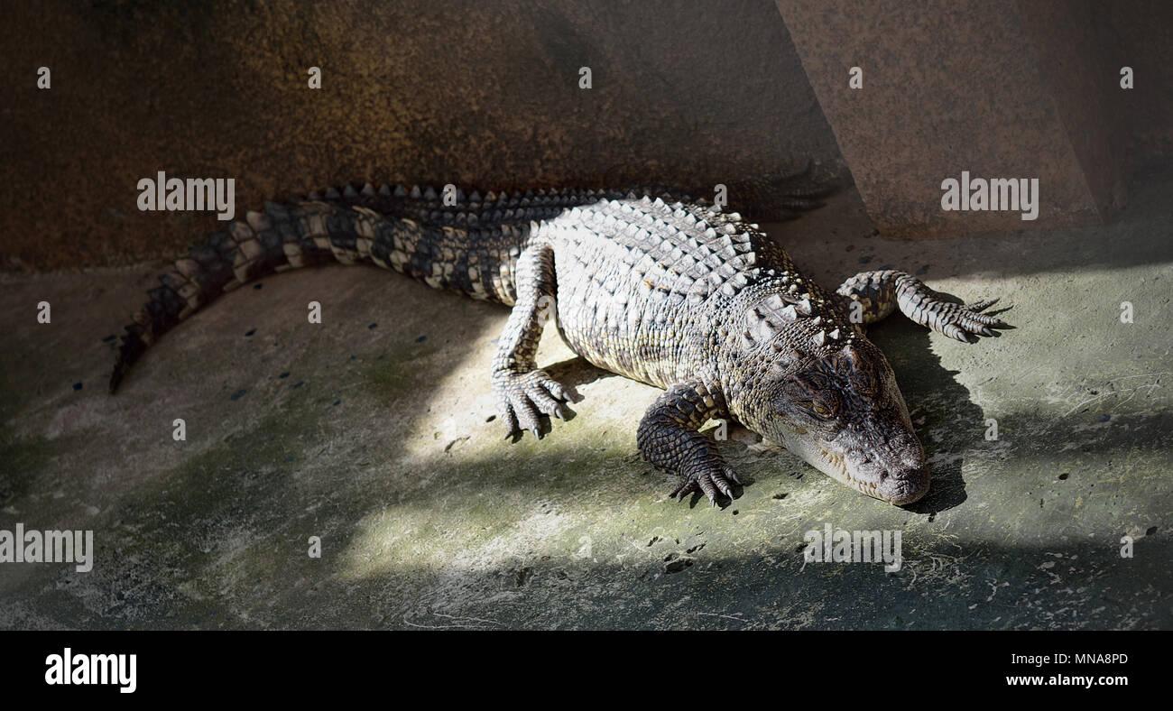 Crocodylidae - Stock Image