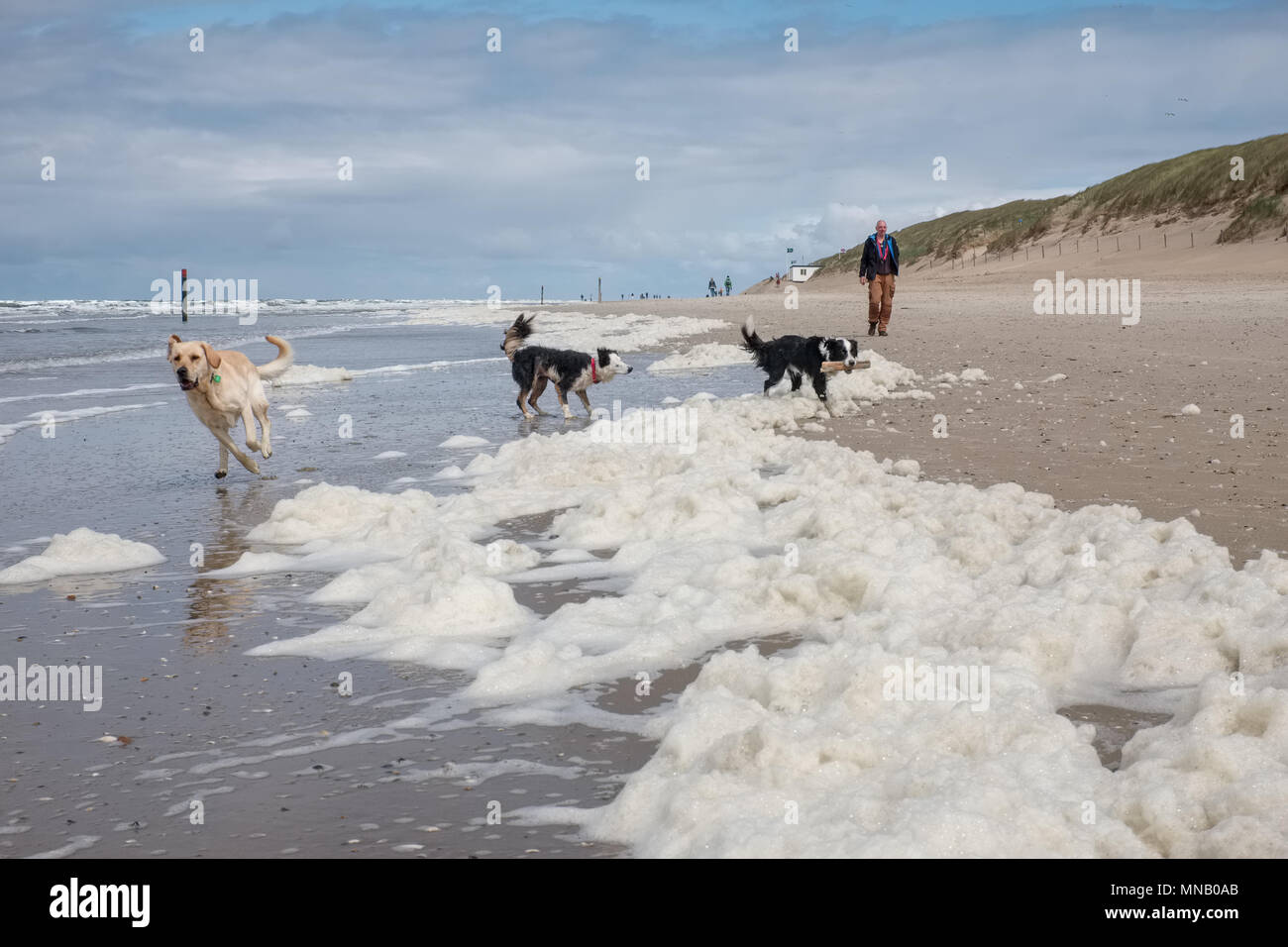 Three dogs playing on a beach covered by Algae, Sunday 15 May 2016, Texel, the Netherlands. Stock Photo