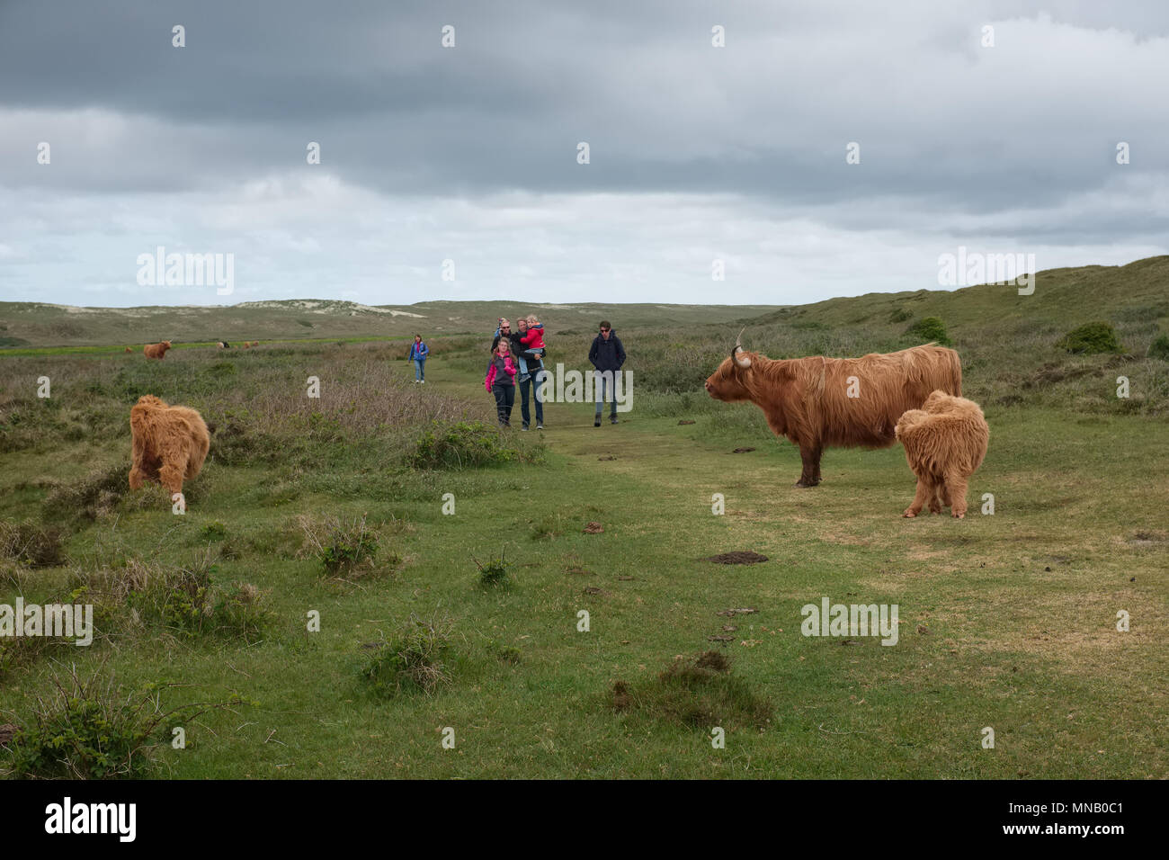 Illustration shows Scottish Highland cows in the Dunes of Texel in the Netherlands. - Stock Image