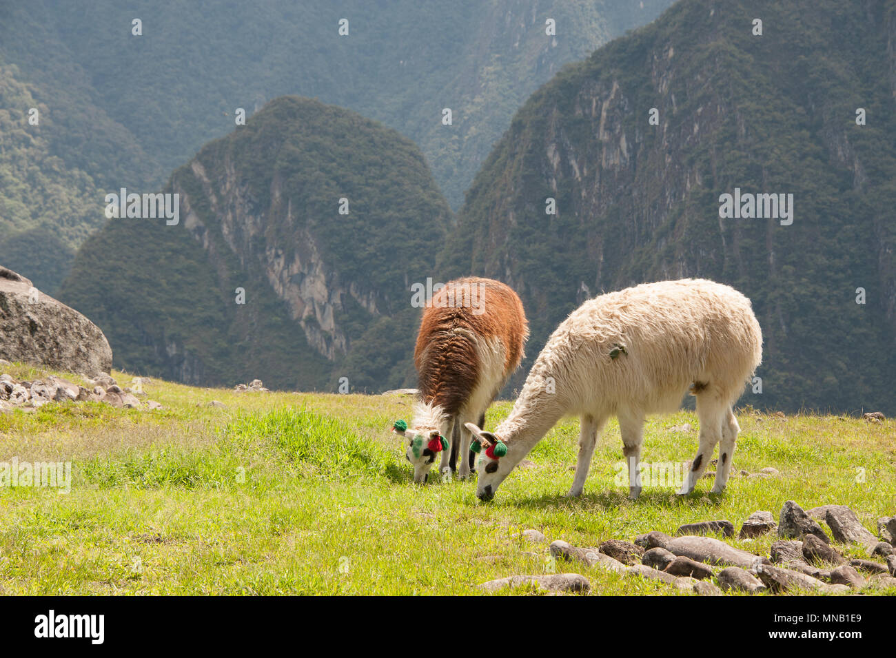 Two llamas grazing on the  amazing landscape of Machu Picchu in Peru - Stock Image