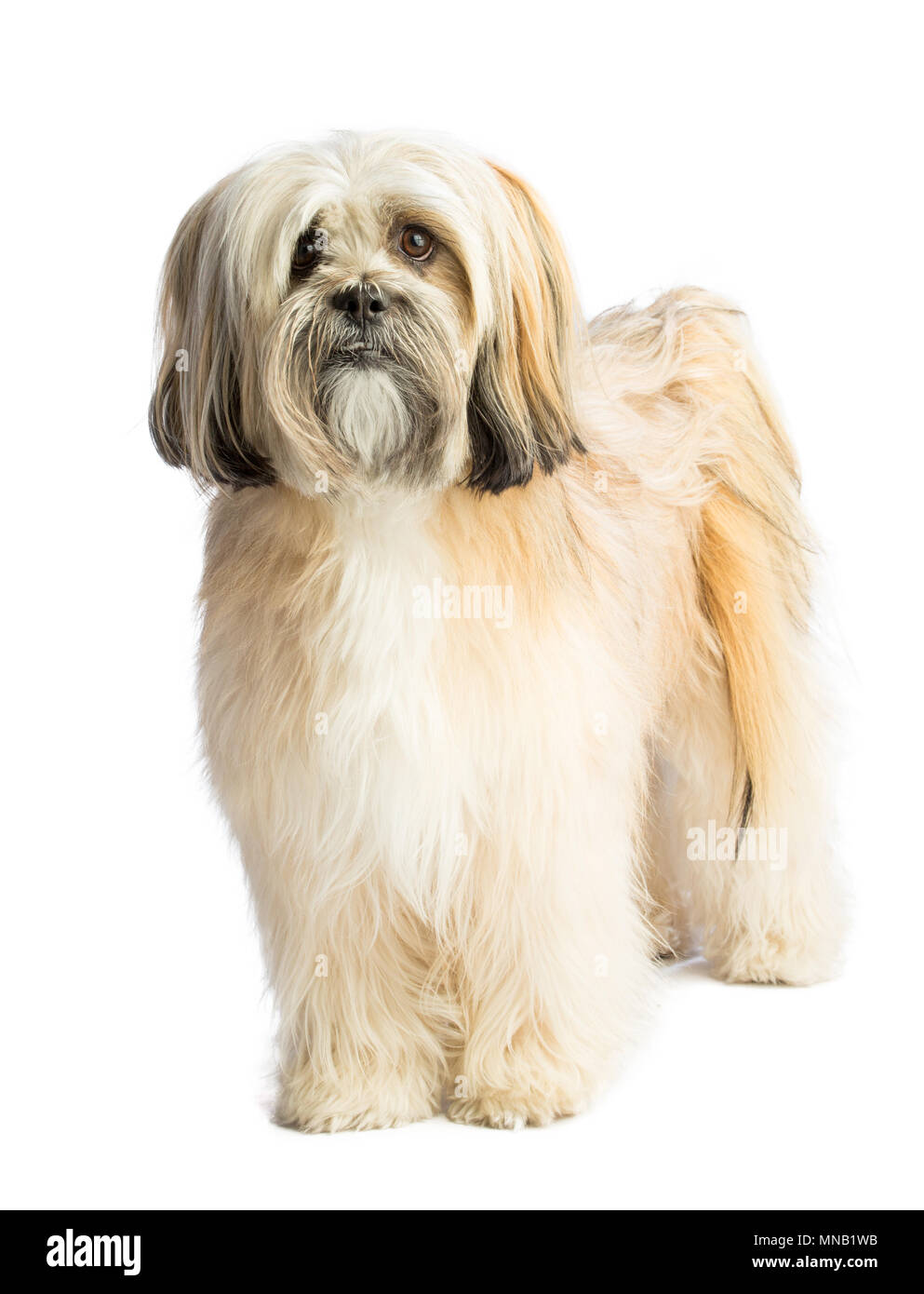 Lhassa Apso standing looking straight ahead on white bckground - Stock Image