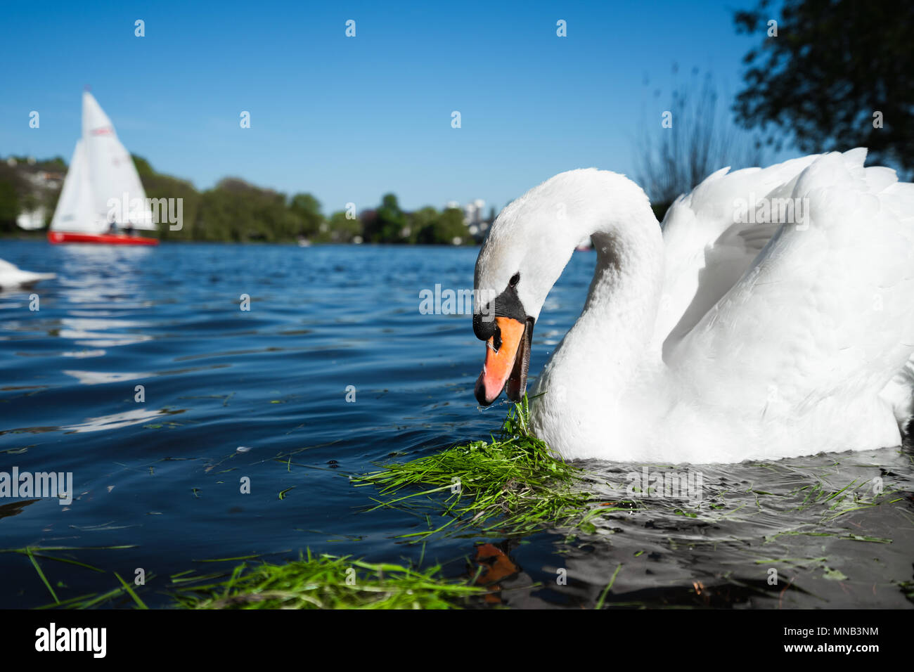 Beautiful cute white grace swan on the Alster lake on a sunny day. White pleasure sail boat in background. Hamburg, Germany - Stock Image