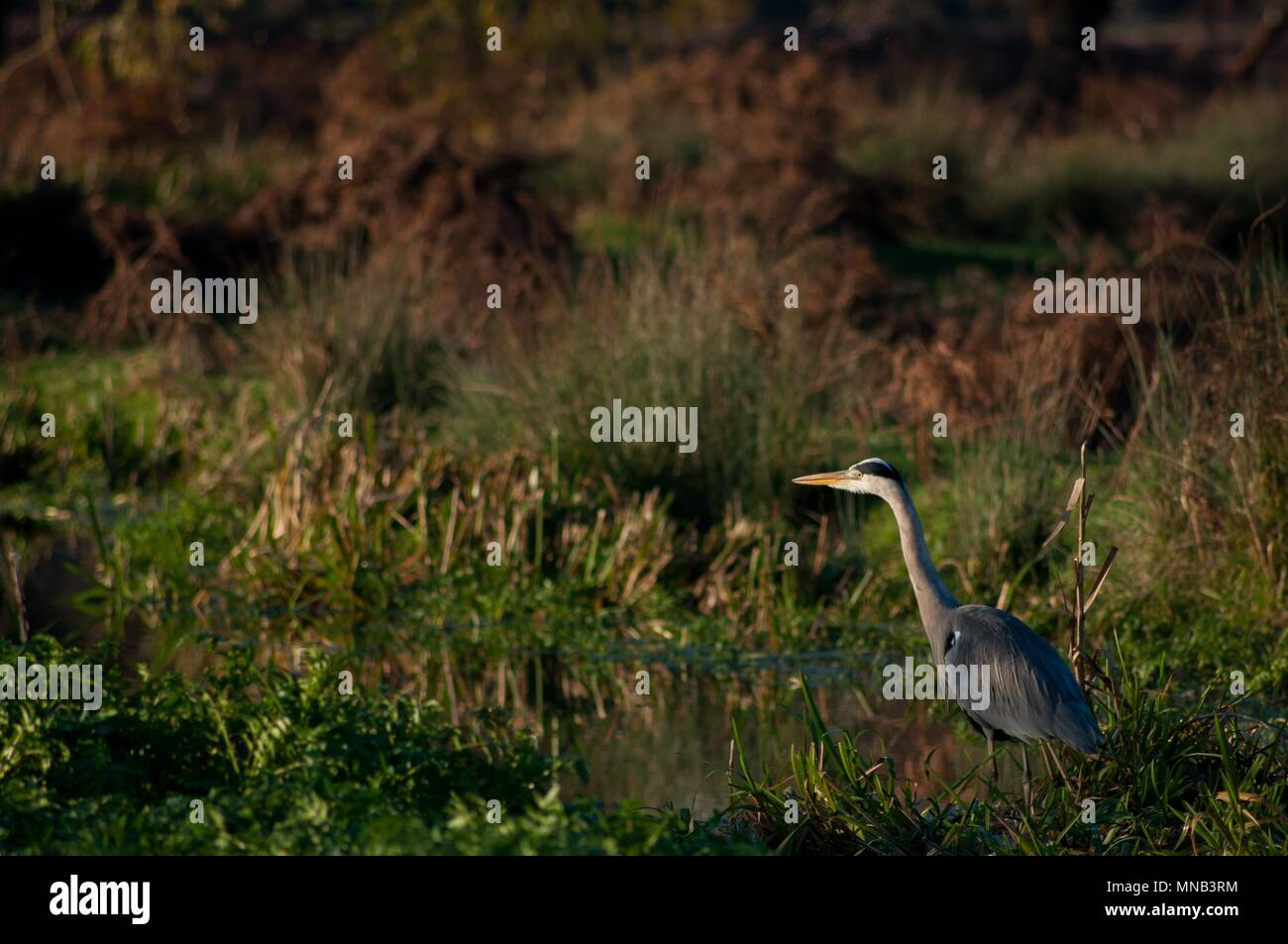 Heron Watching in the Distance, Bushy Park, Surrey - Stock Image