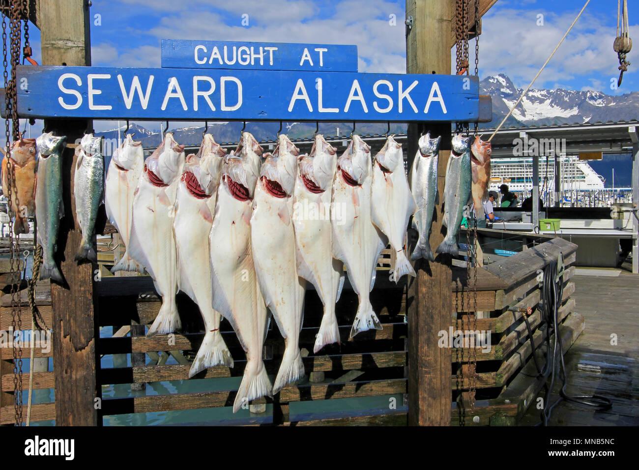 SEWARD, ALASKA, USA, JULY 18, 2014: The halibuts caught at Seward Alaska were hook for weighing in Seward, Alaska, USA on July 18, 2014 - Stock Image