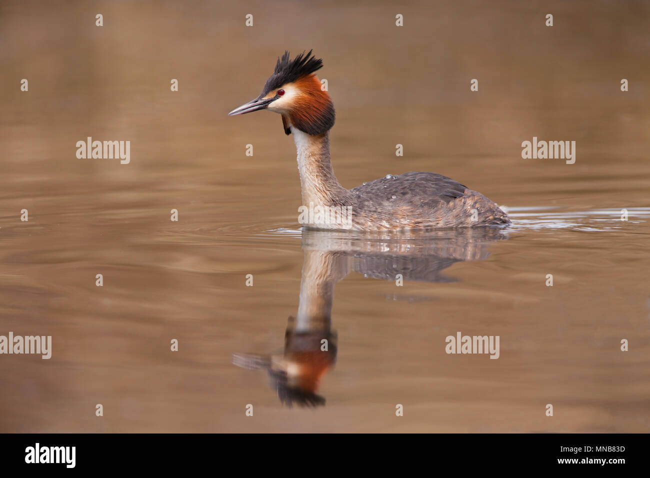 Great Crested Gebe swimming - Stock Image