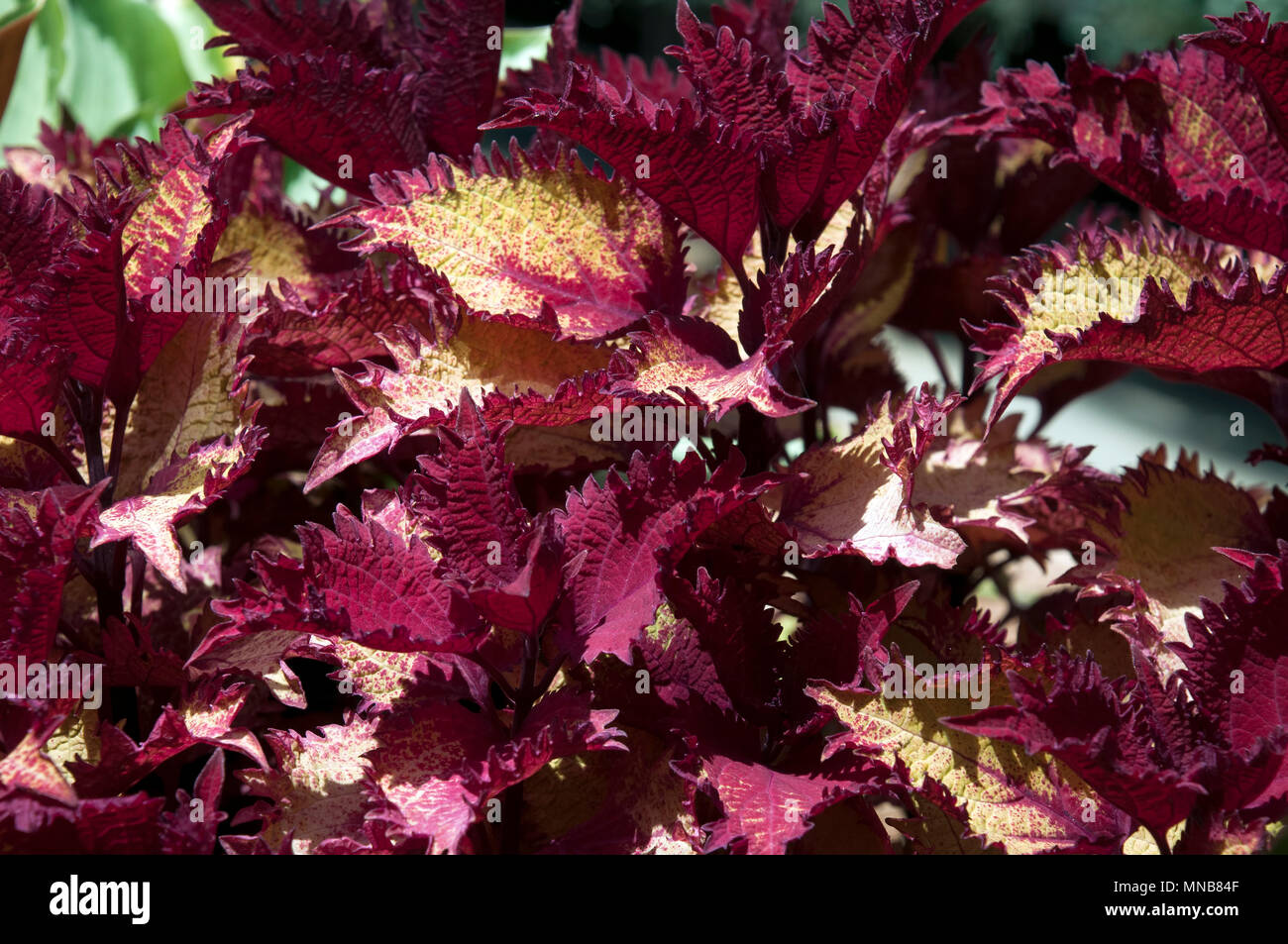Sydney Australia, Variegated Coleus ornamental bush with two tone crimson and yellow leaves - Stock Image