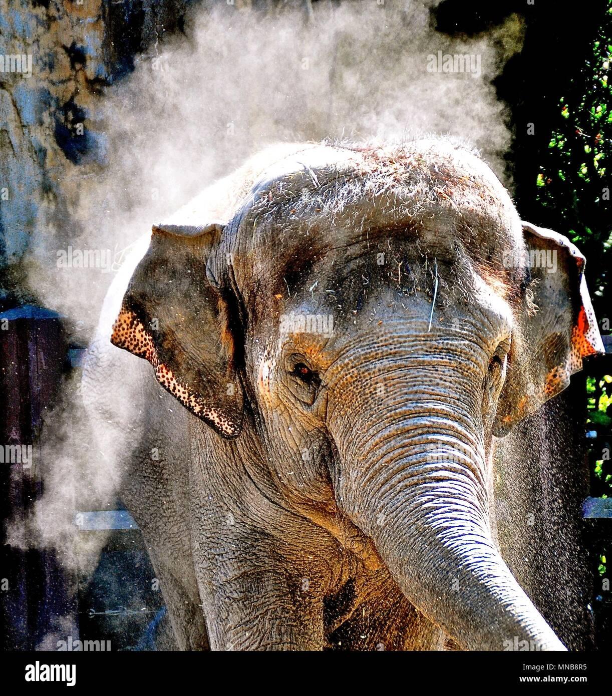 Elephant giving itself a dust bath - Stock Image