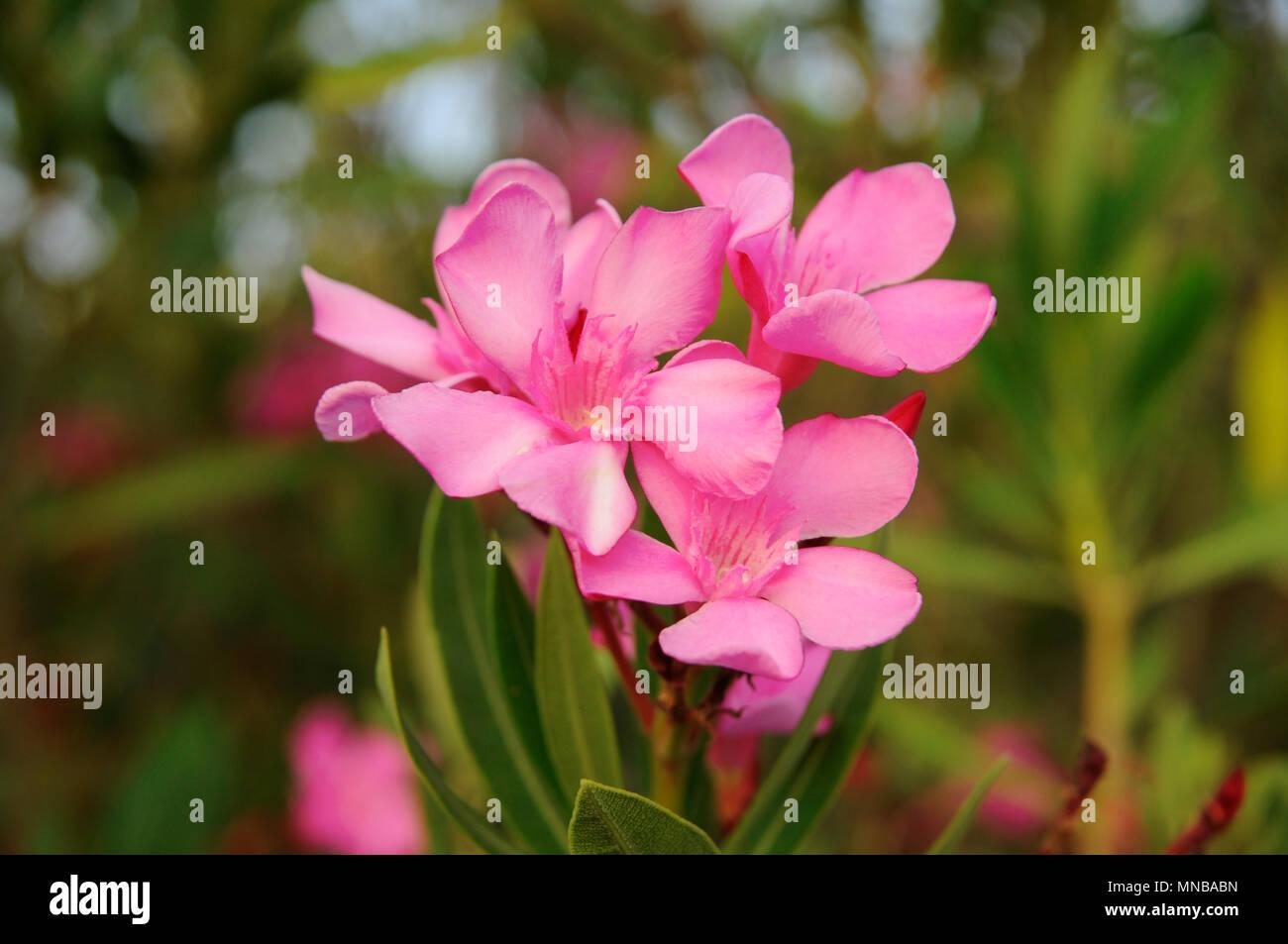 pink flower s branch oleander nerium stock photo 185261097 alamy