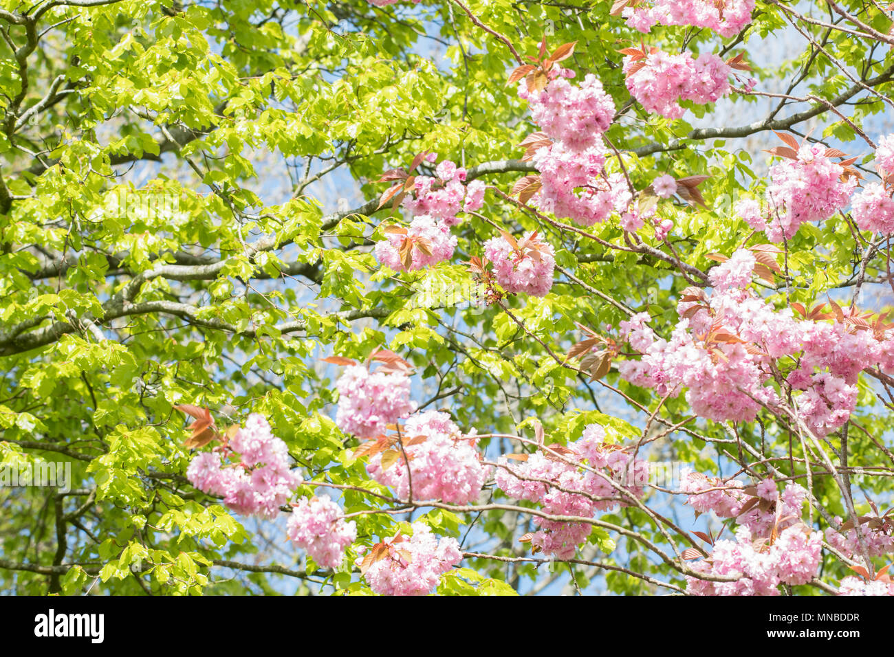 Spring leaves and blossom - uk - Stock Image