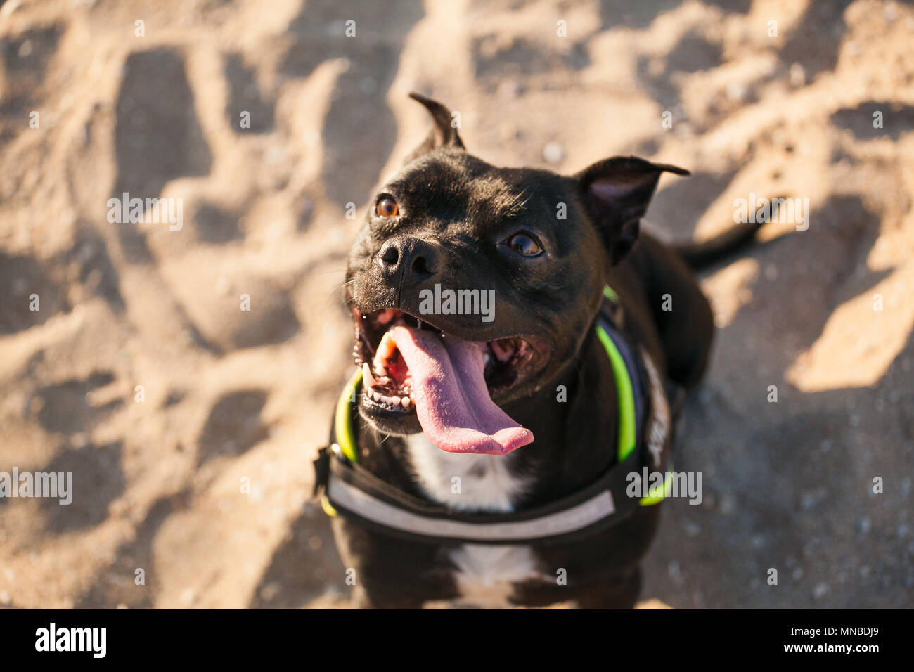 StaffordShire bull Terrier at the beach - Stock Image