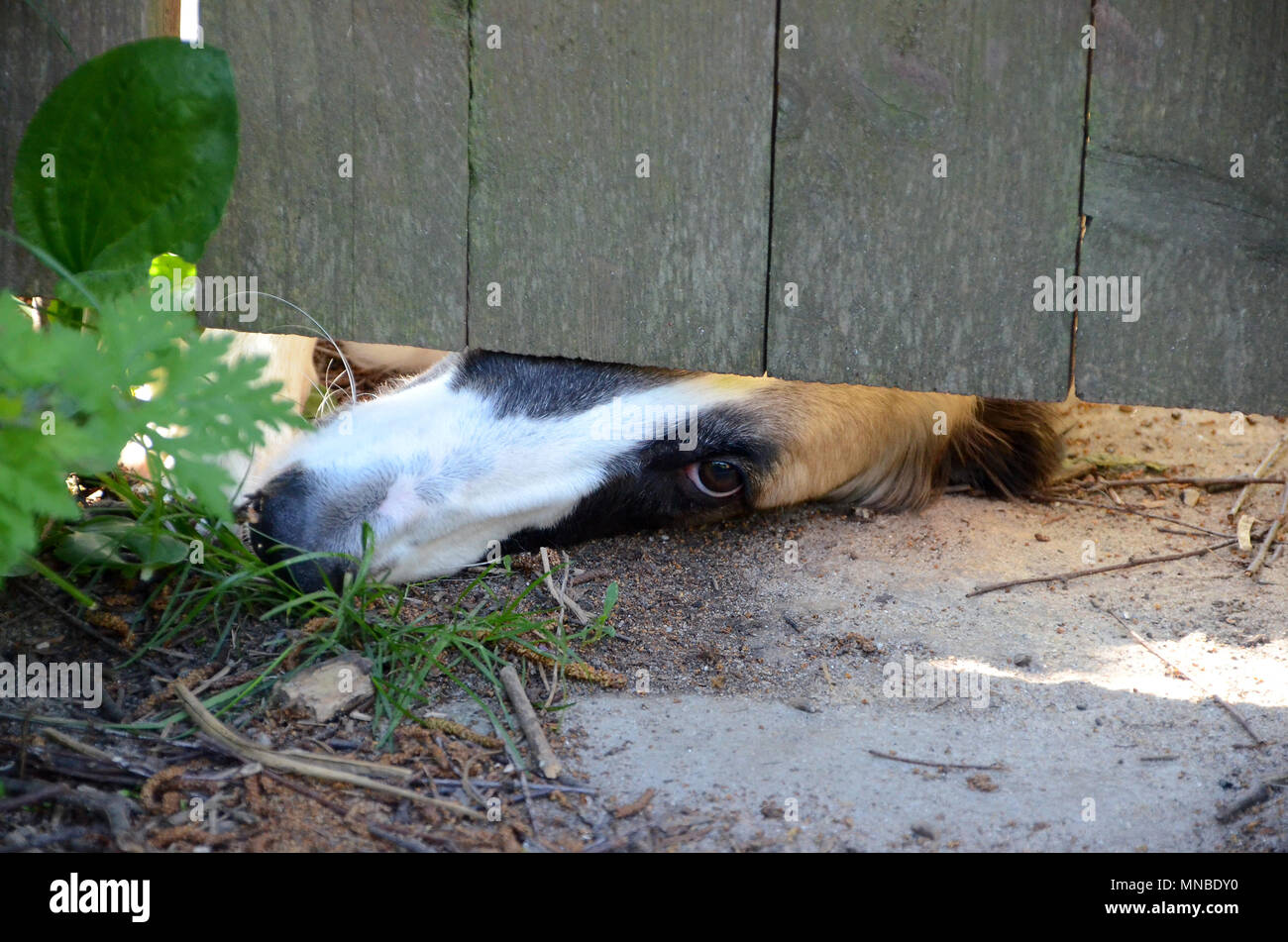 The nose and one eye of a Borzoi dog peeps out under a garden gate, the animal has a longing expression. - Stock Image