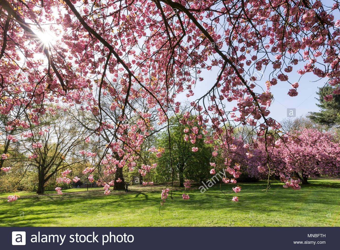 park landscape Japanese cherry tree in full bloom pink vegetation plant blossoming blooming branches twig nature spring season Boeninger Park Duisburg - Stock Image