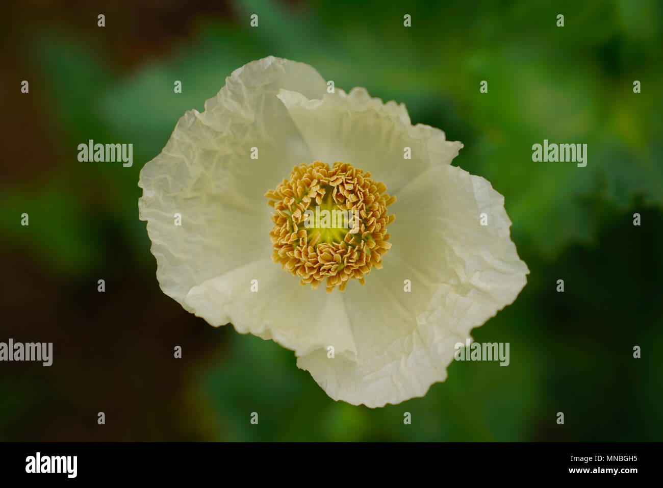 Close Up Inside Poppy Flower In White Petal Color Yellow Stamens And
