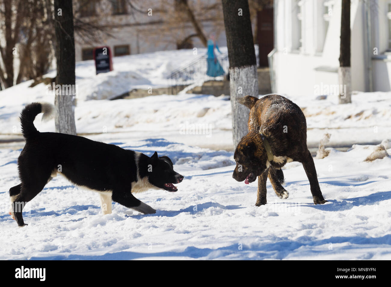 Dogs playing in the city on a background of white snow winter sunny day - Stock Image