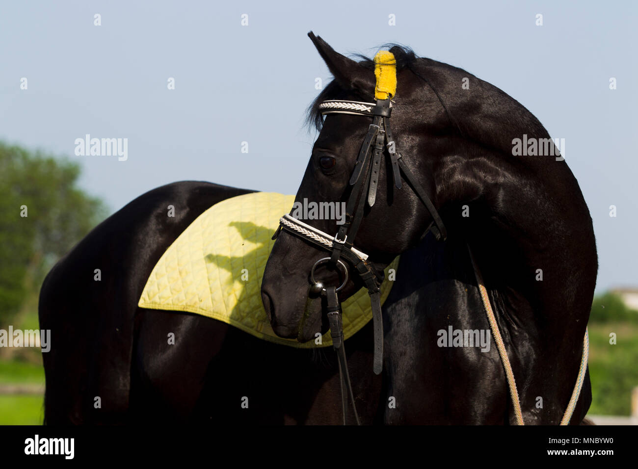 Black Horse With Yellow Saddle Blanket And Bridle Gazing Back Sunny Summer Day Stock Photo Alamy