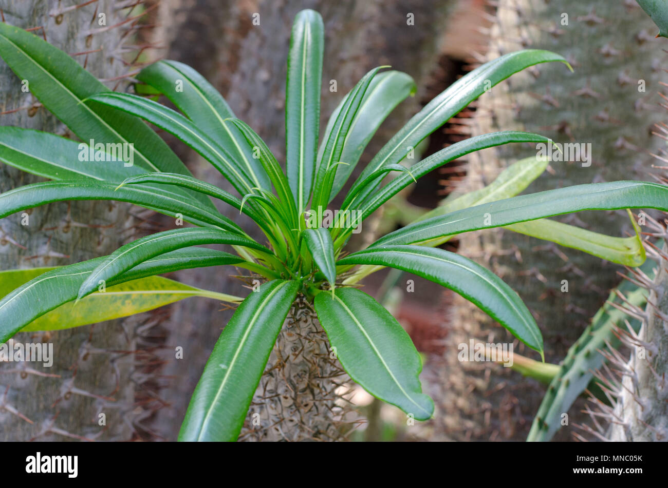 Pachypodium Lamerei Madagascar Palm also called Club Foot - Stock Image