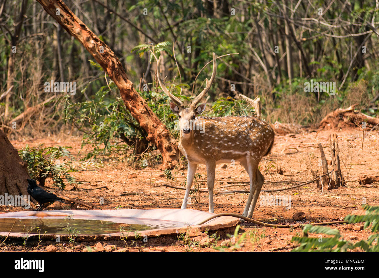 A sambar  deer  standing near water tub at zoo in sunny day. Stock Photo