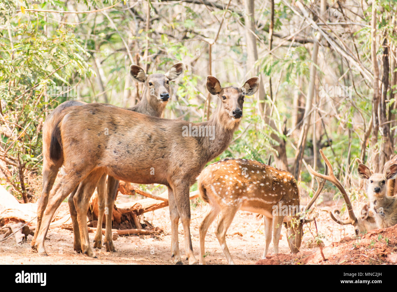 A group of sambar deer standing under a tree & looking towards to visitor. Stock Photo