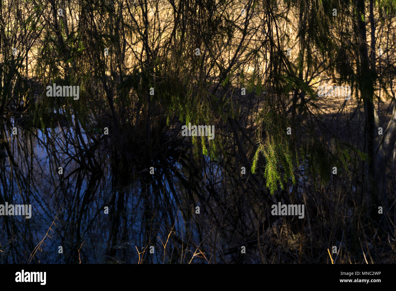 secluded oxbow lake in the spring river valley, covered with willow bushes and spruces, focus on sunlit spruce branches - Stock Image