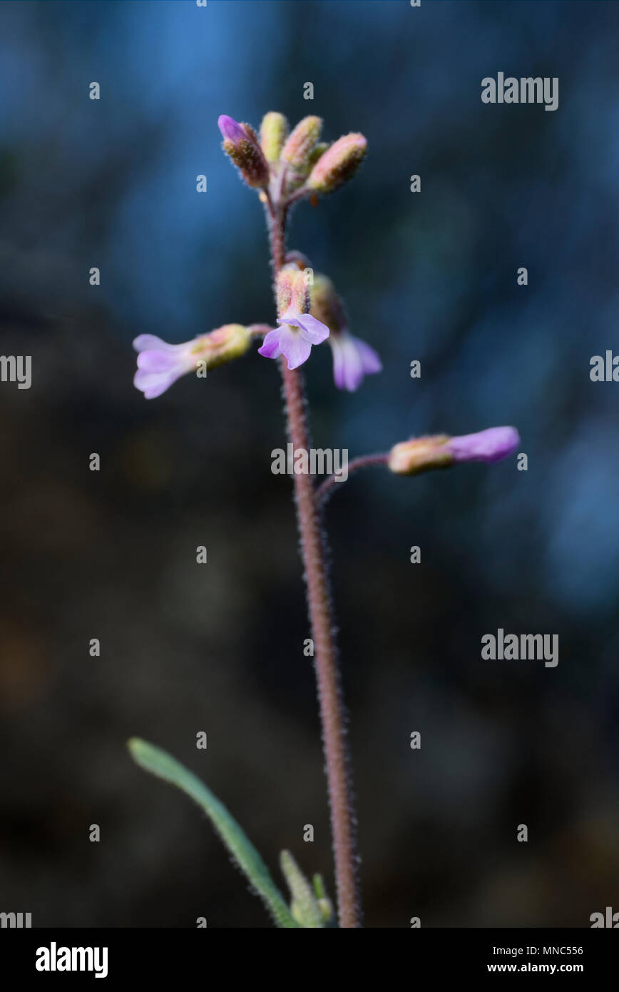 Boechera pauciflora - Stock Image