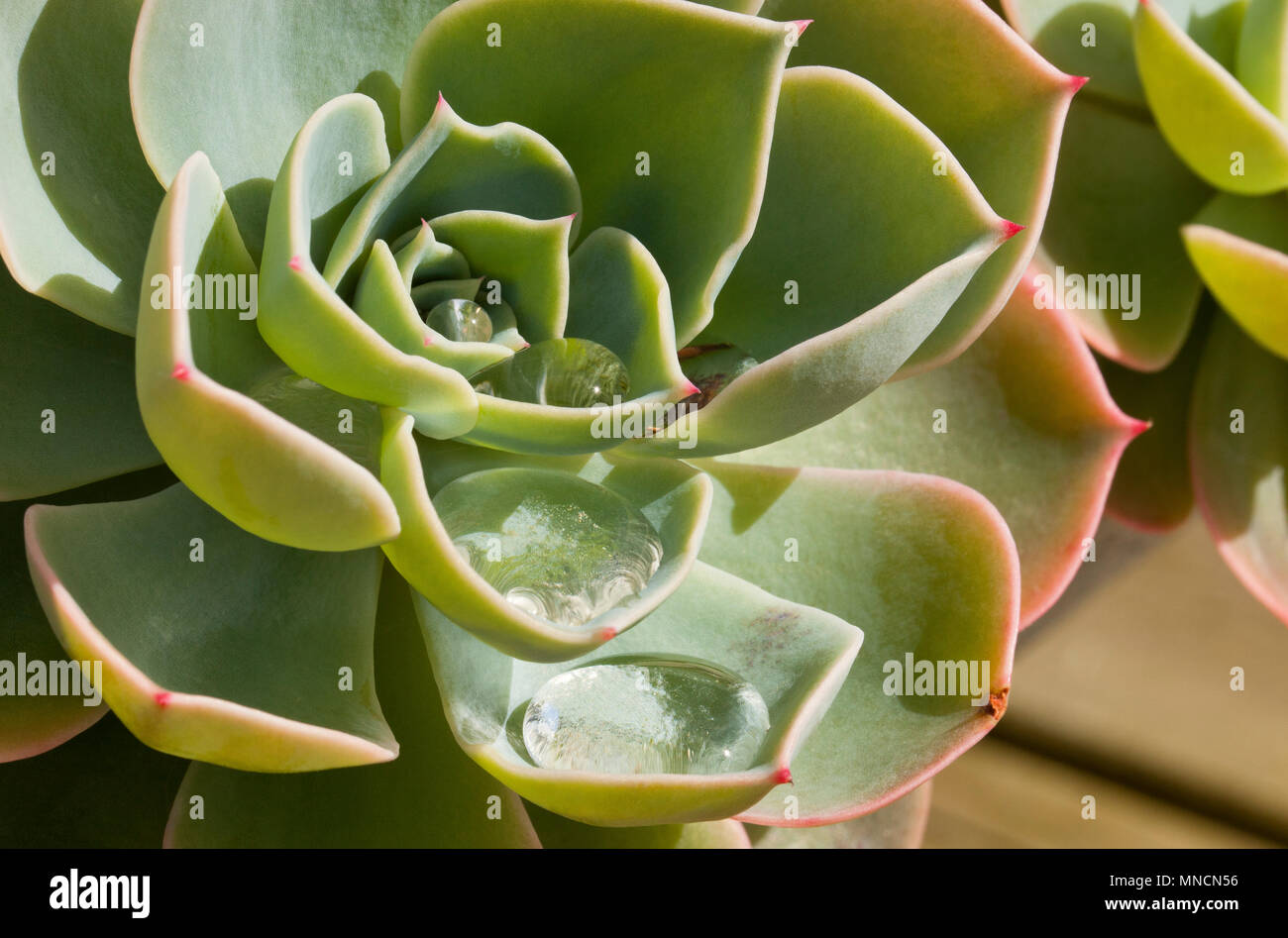 A succulent plant growing in a pot on a table outside  in Spring in England, UK Stock Photo