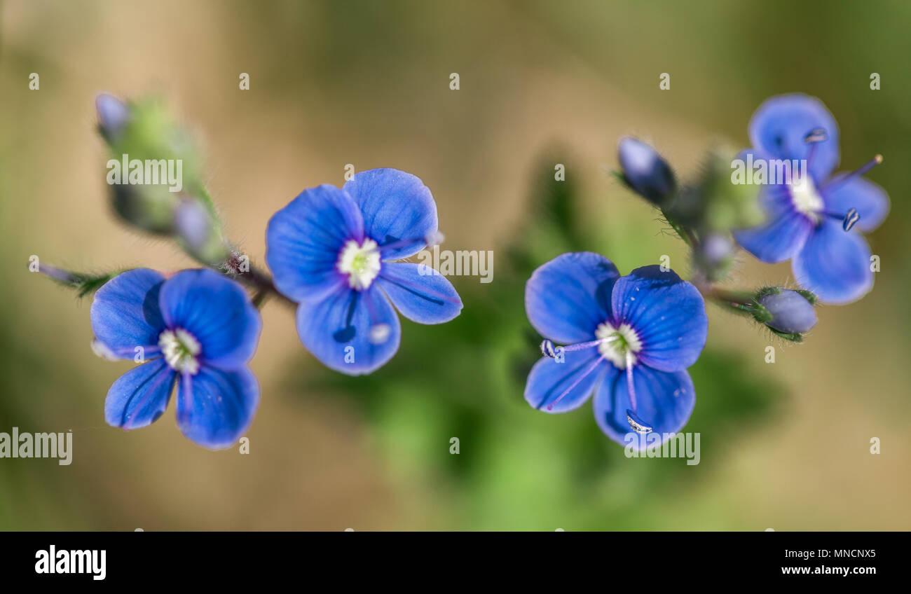 Veronica Spring Blue Perennial Stock Photos Veronica Spring Blue