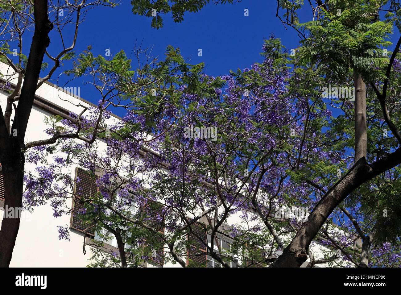 Jacaranda trees stock photos jacaranda trees stock images alamy in spring on the island of madeira trees are covered in blue flowers these are izmirmasajfo