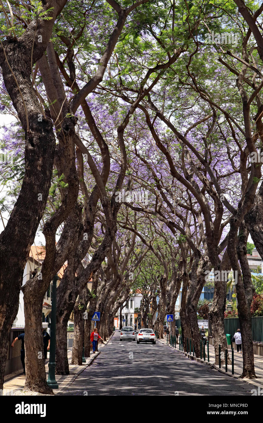 In spring on the island of Madeira trees are covered in blue flowers. Along some streets and roads in Funchal the trees form impressive avenues - Stock Image