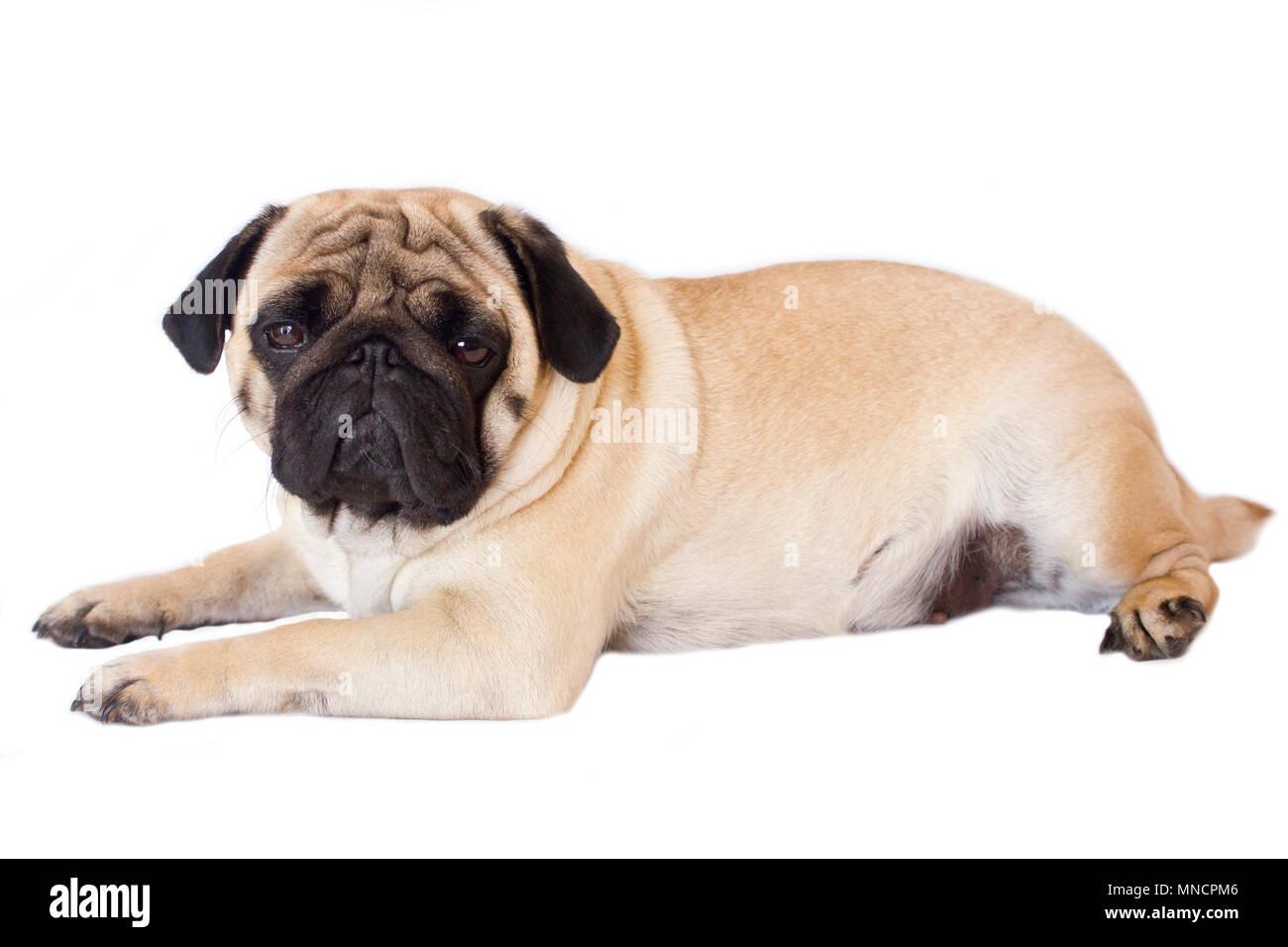 Pug dog isolated. Looking sad with the big eyes - Stock Image