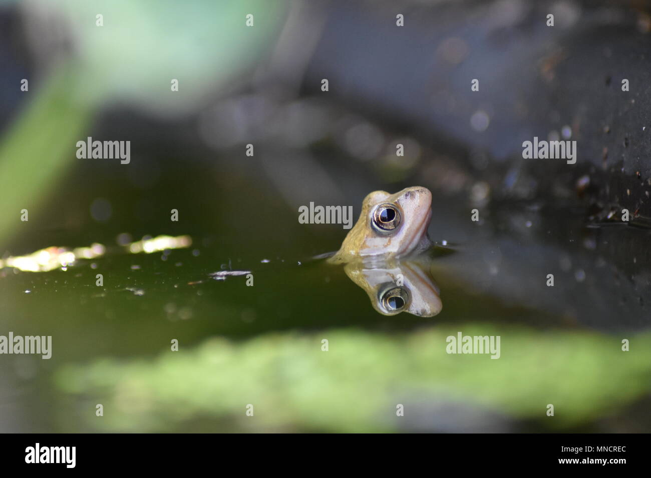 A small Frog in a Pond - Stock Image