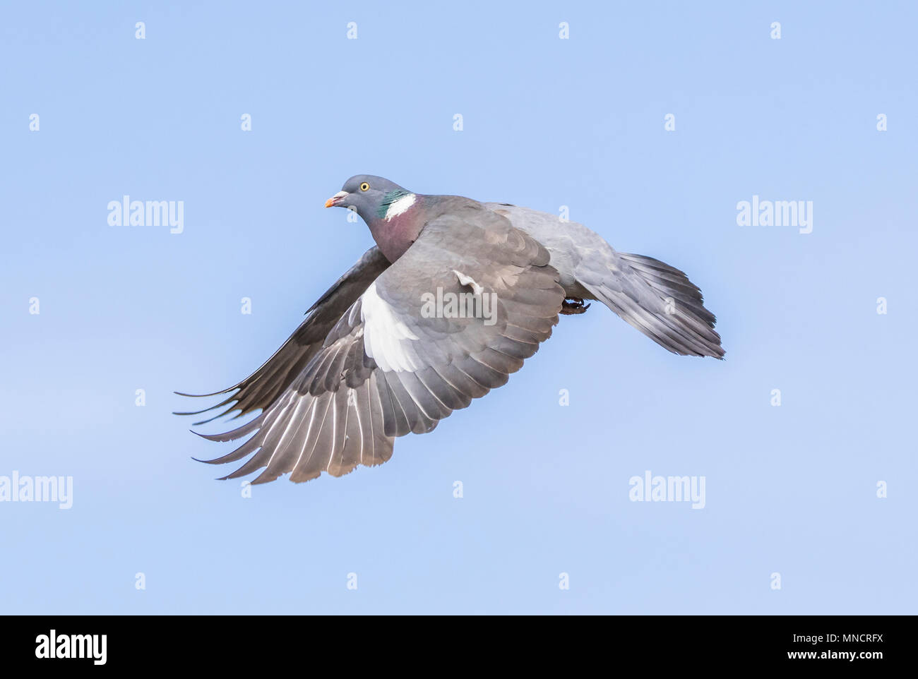 Wood Pigeon (Columba palumbus) with wings down and out, flying in the sky against blue sky in the UK. - Stock Image
