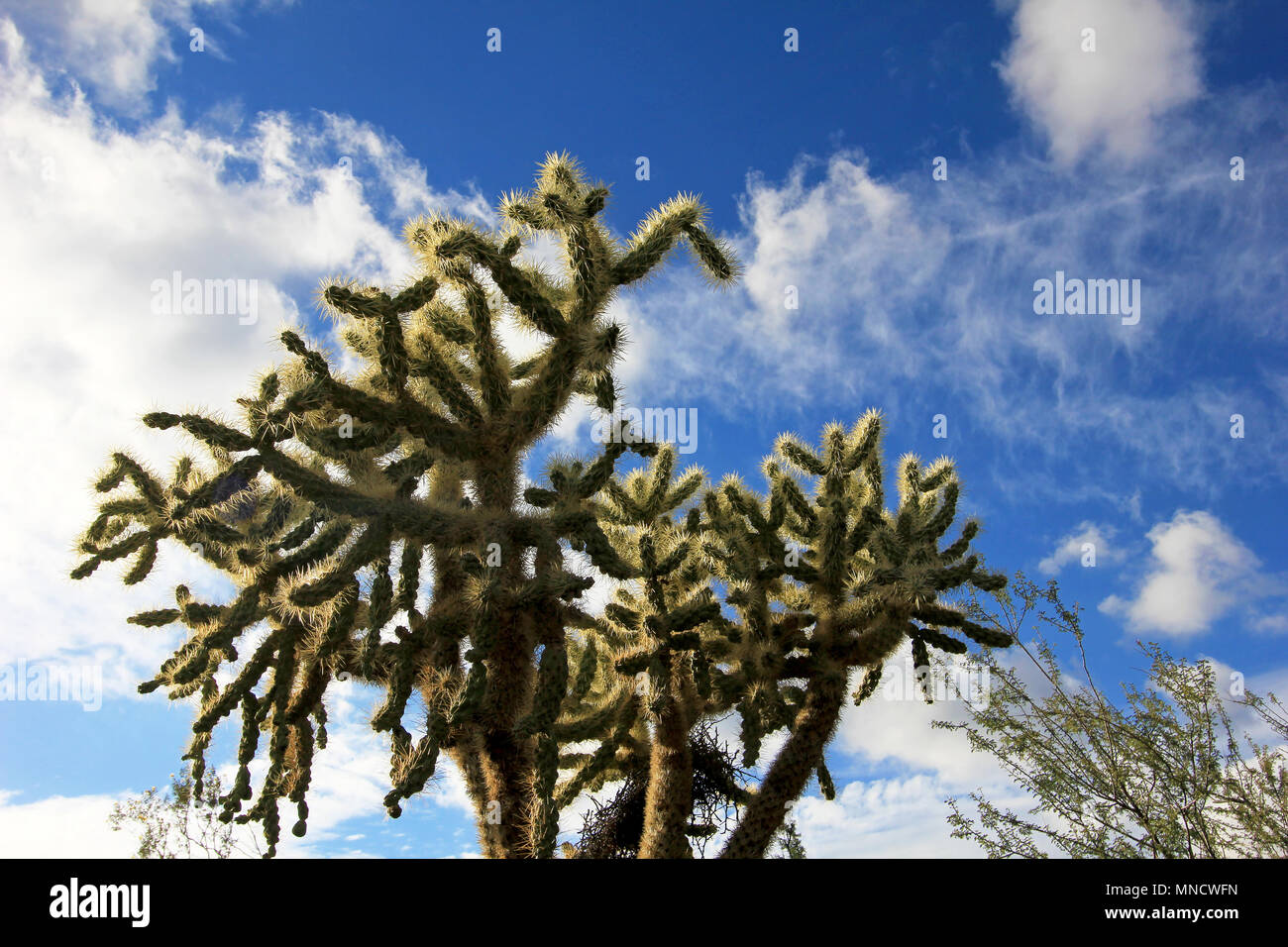 Chain Fruit Cholla cactus in Organ Pipe Cactus National Monument, Arizona, USA - Stock Image