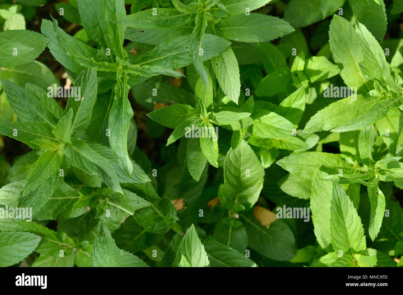 Natural Texture Of Green Mint Background And Wallpaper