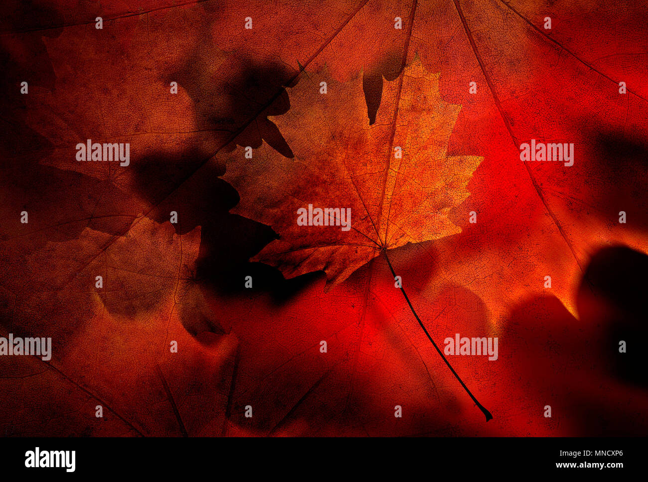 A Beautiful Autumn leaf, with detail and orange, gold, brown and red tones - Stock Image