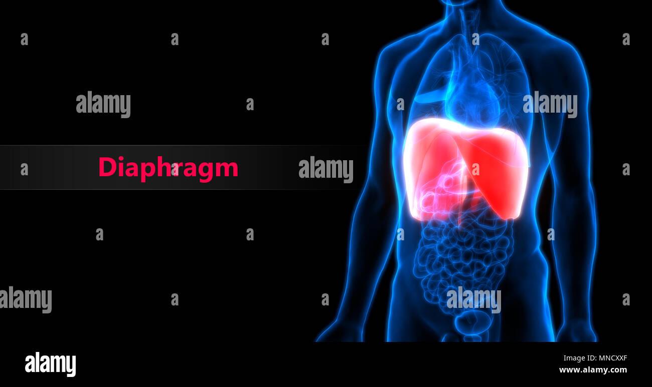 Human Body Organs Diaphragm Anatomy Stock Photo 185296007 Alamy