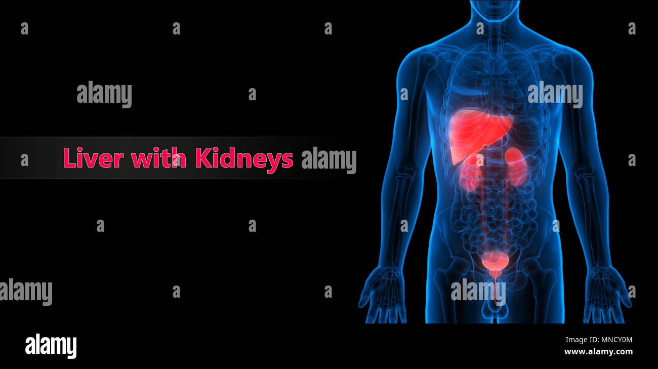 Human Liver Kidneys With Urinary Bladder Anatomy Stock Photo
