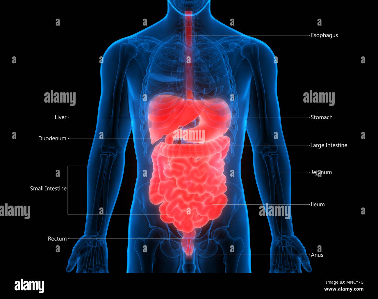 Digestive System Stock Photos & Digestive System Stock Images - Alamy