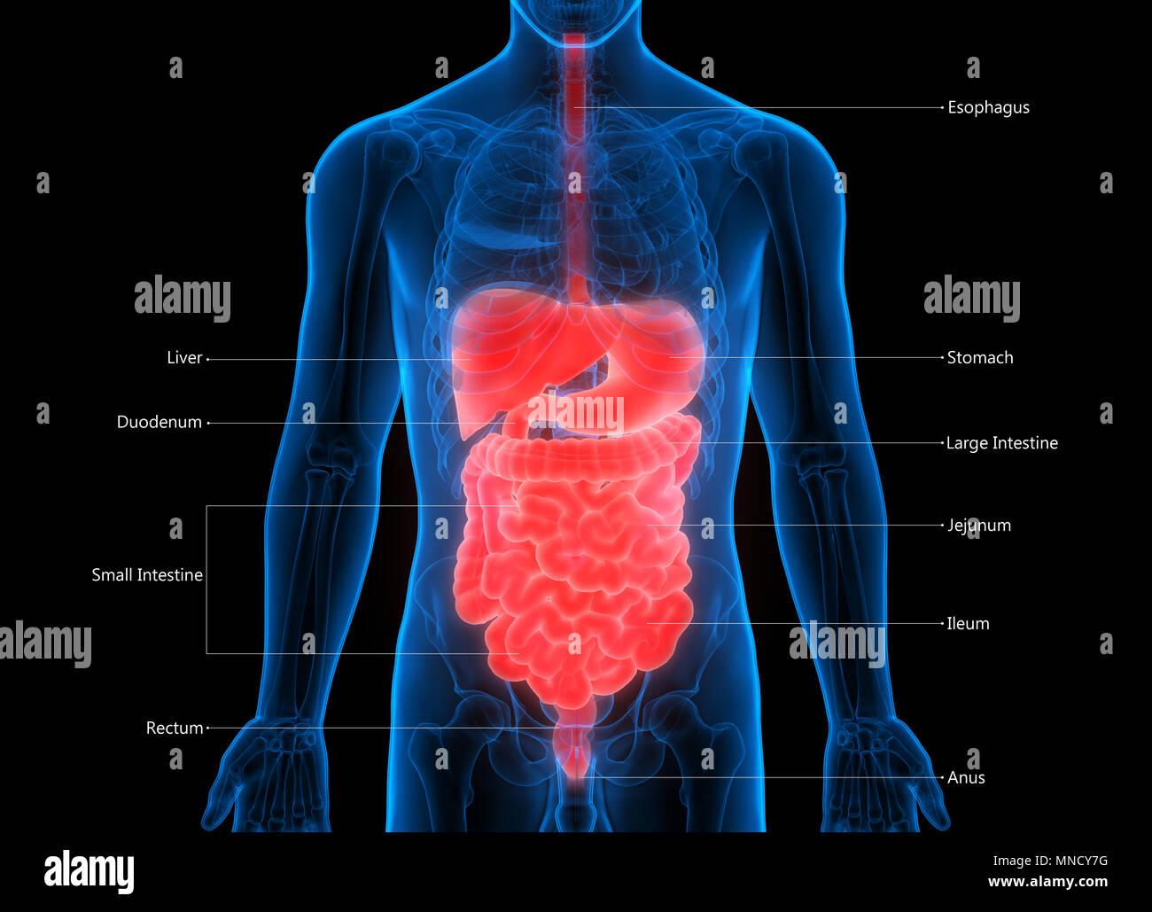 Human Digestive System Anatomy Stock Photo 185296260 Alamy