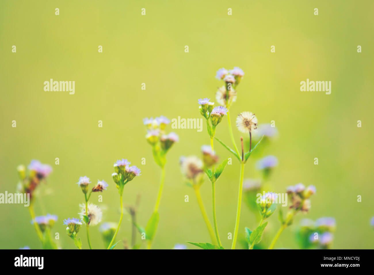 Wild Meadow Pink Flowers On Morning Sunlight Background Autumn