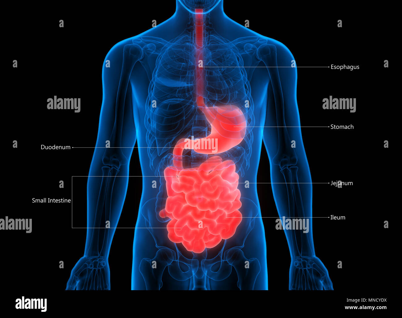 Human Digestive System Stomach with Small Intestine Anatomy Stock ...