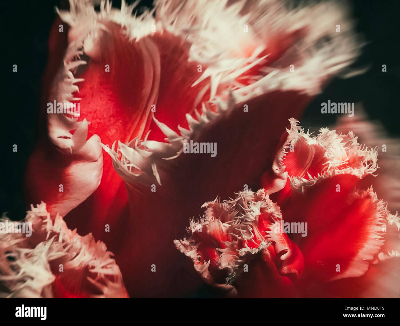 Red tulips with white edges on dark background. Abstract macro photo Stock Photo