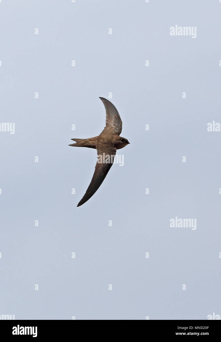 Alexanders Swift (Apus alexandri) adult in flight  Santiago Island, Cape Verde                        April - Stock Image