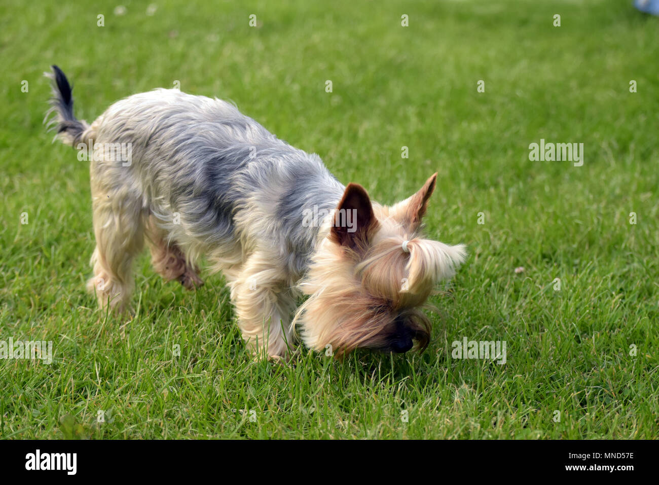 cute Blue & Tan Yorkshire Terrier sniff in the gras backround wallpaper